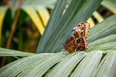2016-10-19_15-04-14 (dans_photos) Tags: 2016 morpho nationalbotanicgardenofwales october southwales wales amazonian butterfly