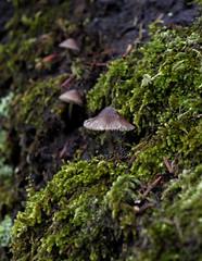 Tiny mushrooms at Parnitha (nikolasga) Tags: nature mushroom parnitha winter sony nex 5 tiny