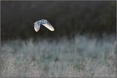 Barn Owl (image 3 of 3) (Full Moon Images) Tags: wildlife nature cambridgeshire fens east anglia bird prey birdofprey flight flying barn owl