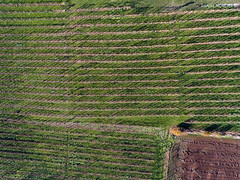Wine (Daniel Moreira) Tags: tresivio san tommaso vineyard vinha drone dji phantom 4 aerial photography fotografia aérea italy italia itália