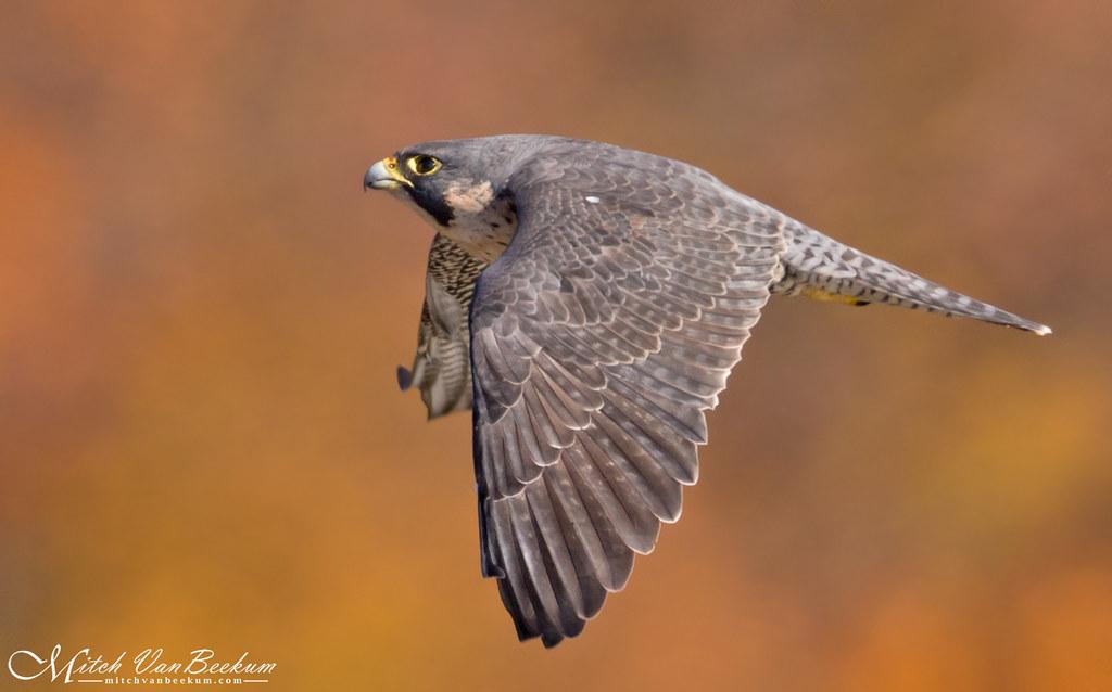 """""""Firebird"""" - Peregrine Falcon"""
