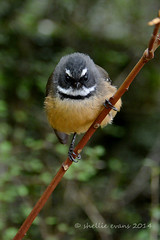 Fantail- Diamond Lake, Wanaka (flyingkiwigirl) Tags: autumn lake colour bay cone walk diamond doc wanaka glendhu trble