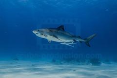 2014 03 TIGER BEACH-2053