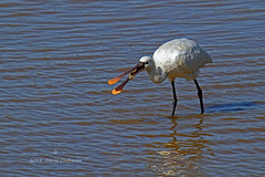 Bonne pioche......! (PACHA23) Tags: bird fauna flickr wildlife aves vogel faune zancuda wadingbird spatule leteich chassier oiseaudeau stelzvogel