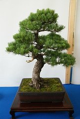 DSC09888 (Prox-Photography) Tags: plant tree gardens pine botanical japanese for maple birmingham all chinese pot bonsai elm accent juniper 2014