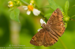 Horace's Duskywing Skipper (sjsimmons68) Tags: animals butterfly favorites fav insectsandspiders centralwindspark duskywingskipper fllocations