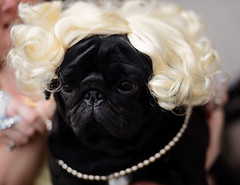 Pugs & Pearls (Mark Liddell) Tags: party dog pet black cute face animal hair fur scotland costume funny flat dundee pug curls pearls wig blonde pearl humphrey flapper pedigree smooshed nercklace