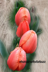 Red Tulips (rikki500) Tags: flowers red texture canon tulips summertime textured springtime photographybybuzz