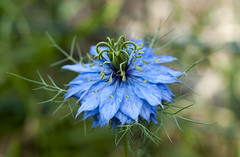 Nigella (James Cottrell 1) Tags: flowers blue green up garden 50mm close olympus nigella f17 centon e450