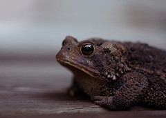 Good Morning Toad! (a fool's eye) Tags: nature animal toad