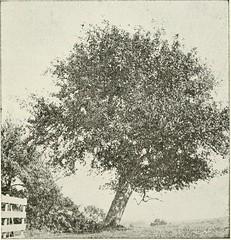 Anglų lietuvių žodynas. Žodis soap tree reiškia muilo medžio lietuviškai.