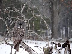 Great Gray Owl (lindseybphotos1) Tags: greatgrayowl strixnebulosa grayowl irruption owlirruption largeowl borealspecies borealbird borealowlspecies wisconsinowl