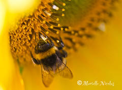 IMG_2048 ( MissChief Photography ) Tags: flowers nature garden bees insects bugs sunflower jersey bumblebees stbrelade