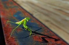 Clingy Mantis. (DigitalCanvas72) Tags: wood nature grass bug mantis insect rust praying g2 prayingmantis lgg2 andriodsmartphone