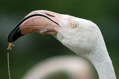 Greater flamingo (James L Taylor) Tags: