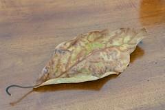 leaf with hook (Riex) Tags: nature dead avocado wooden leaf crochet morte fallen adapter fujifilm hook bois feuille avocat alpa xm1 fujix xtrans speedbooster xmount kernmacroswitar50mmf18lens