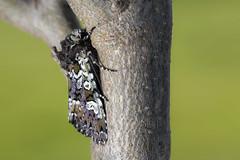 Flekkfly Crypsedra gemmea (Eivind Nielsen) Tags: lepidoptera gemmea flekkfly crypsedra