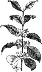 Anglų lietuvių žodynas. Žodis rhamnus carolinianus reiškia <li>rhamnus carolinianus</li> lietuviškai.
