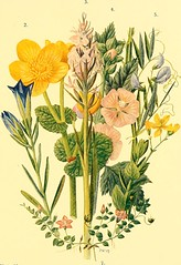 Anglų lietuvių žodynas. Žodis yellow pimpernel reiškia geltona pimpernel lietuviškai.