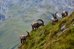 Chilchhorn 2789 m Ticino-Vallese (Photo by Lele) Tags: ticino m nero naso muso passo 2789 nufenen pecora stambecchi stambecco razza vallese chilchhorn