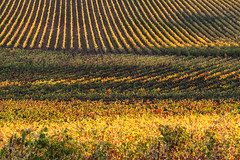 Bands of Gold (**El-Len**) Tags: california autumn usa color fall sunrise us vineyard fav50 winecountry fav25