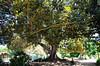 IMGP4152 (vadimbolshev) Tags: greece crete chania hugetree
