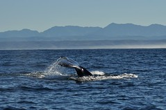 Humpback Whale (MegMoggington) Tags: travel southafrica wildlife whale humpbackwhale gardenroute megapteranovaeangliae westerncape plettenbergbay tsitsikammamountains