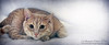 Not Guilty...Honest! (sminky_pinky100 (In and Out)) Tags: portrait pet canada painterly beautiful animal cat feline novascotia shakespeare sheets textures playful myboy guilty undercover omot cans2s exhibitionoftalent masterclassexhibition masterclasselite