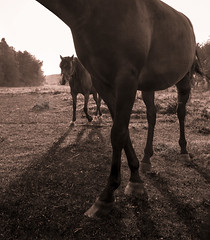 2horses (Todd (Whitby61)) Tags: trees two horses bw mist ontario grass fog sepia rural forest sunrise adobephotoshop farm pair angles saturday monotone canadian whitby friendly clover majestic lowangle 2014 longshadows adobelightroom canon24105 canon6d