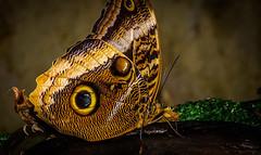 papillon (Laurent Hutinet) Tags: macro nature rainbow papillon autofocus photographyforrecreation rainbowofnature