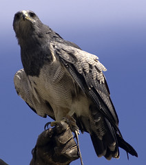 CFR0095 (Carlos F1) Tags: life parque wild bird animal grey gris spain nikon natural eagle raptor vida falcon pajaro cantabria falconry aguila rapaz d300 halcon cabrceno cabarceno salvaje cetreria