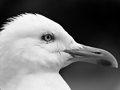 Herring Gull (Dean Page Photography) Tags: cornwall stives
