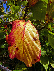 Autumn Colour Castle Point Falmouth Cornwall (Cornishcarolin. Problems posting thanks xxx) Tags: autumn nature leaves cornwall falmouth