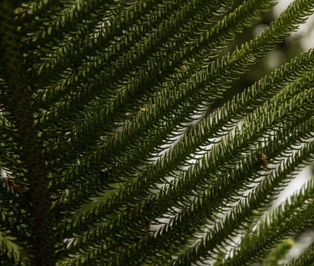 And information network araucaria heterophylla norfolk pine - Araucaria Araucana Araucaria Heterophylla Norfolk Pine Isles Of Scilly Tresco Abbey Jdy261