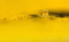 BWPA - Highly Commended! (Ed Phillips 01) Tags: macro prize highly springtail collembola commended bwpa