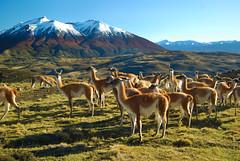 Guanacos meeting - Torres del Paine NP (Cascada Expediciones) Tags: chile travel patagonia photo wildlife safari experience torresdelpaine cascada guanaco