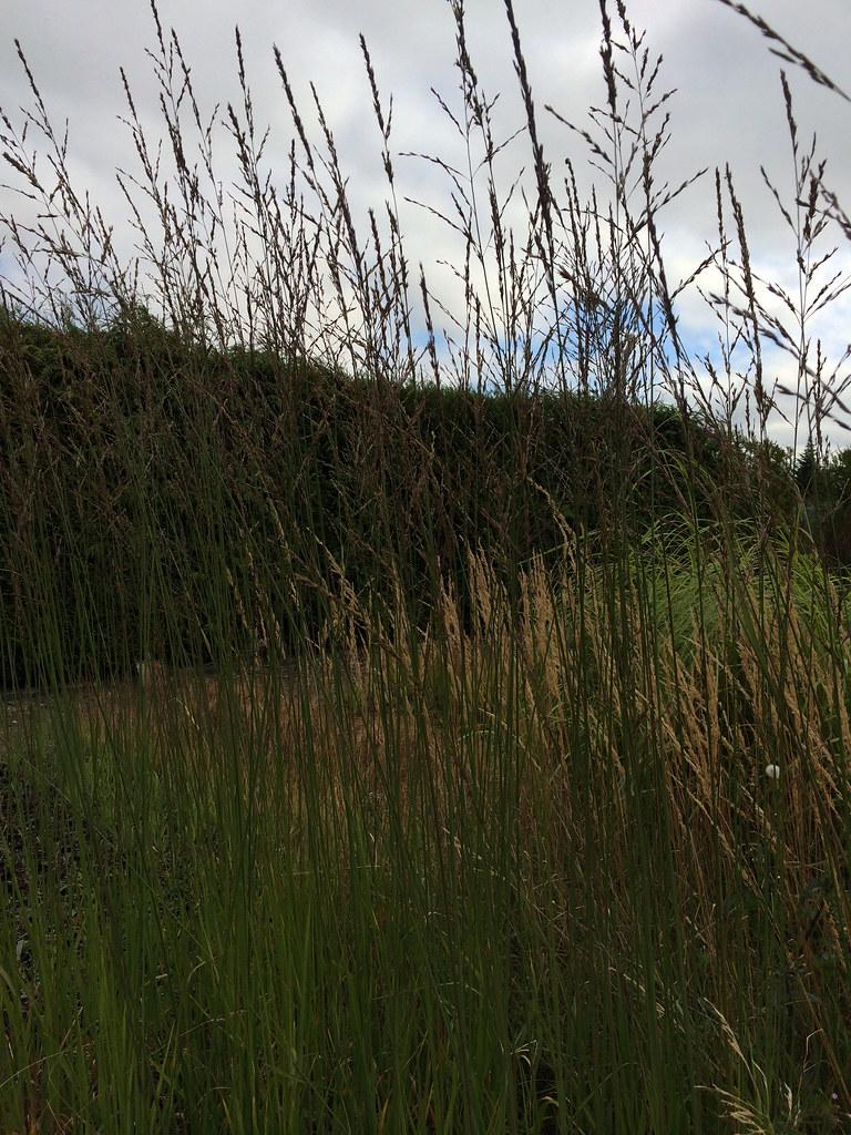 Molinia caerulea subsp. arundinacea 'Skyracer'