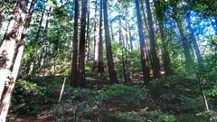Deep forest, Muir Woods, California (isabella.cabre) Tags: california trees nature outdoor muirwoods redwood sequoia californie millvalley goldengatenationalrecreationarea squoia