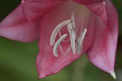 More Pink (billcoo) Tags: flower macro garden bokeh explore pollen