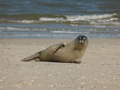 Seal on the beach of Spiekeroog 2014 GER (Alta alatis patent) Tags: beach young seal spiekeroog waddenisland zomer2014