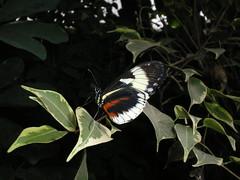 2008-10-18 Tropical Wings _75 (Velda Tiger Lily Varney) Tags: camera pentax compact cameraequipment pentaxoptiol30 brandmain