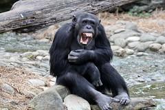 10-08-2014-taronga 045 (tdierikx) Tags: chimpanzee taronga tarongazoo lubutu 10082014taronga tdierikx