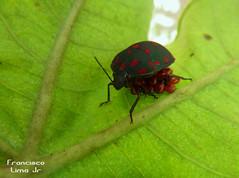 Cuidado parental (Francisco Lima Jr) Tags: insectos insect percevejo bedbug heteroptera scutelleridae parentalcare northeasternbrazil chinches cuidadodelospadres elnorestedebrasil