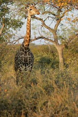Game Drive_Sunset_Balule_Kruger_SA