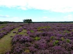 Roydon Common NNR heather (ericy202) Tags: heather norfolk common roydon nnr
