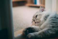 20140920-df-貓的視界-NDF_5253 (Eternal-Ray) Tags: cat 50mm nikon df g chinchilla nikkor f18 台北 afs 貓 金吉拉