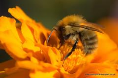DSC_4168.NEF (Tree Tops Caravan Park) Tags: flower macro bees