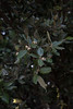 silba 2014 (liliweissensteiner) Tags: summer vacation tree island holidays croatia silba holmoak quercusilex evergreenoak steineiche hollyoak silbacroatia
