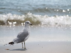 Seagull At The Beach (1) (THE Halloween Queen) Tags: thechallengefactory pregamewinner