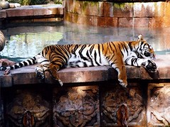 Bengal Tiger at the Bronx Zoo (Dino Langis) Tags: tiger bronxzoo alwaysexc beautiesbeasts